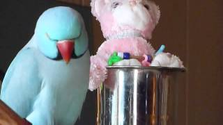 4 Yr old Indian Ringneck Sky, Talking, Tricks and Mirror test
