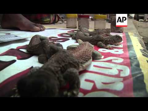 Reptile population under threat from poachers wanting lizard oil