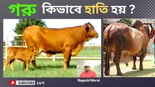 বিশ্বের উন্নত জাতের গরু মোটাতাজাকরণ করে হাতির মত বানানো হয়েছে মোহাম্মাদপুরে, Cow Fattening Project,