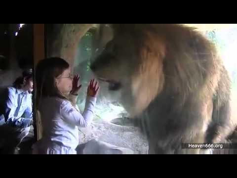 Ataque animal leon ataka. que fuera de la niña si no estuviera el vidrio