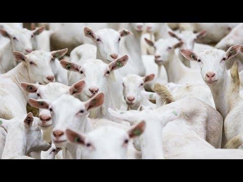 Milking 1 300 Goats p hr Dairymaster Goat Rotary Eurotier Gold Medal Winner