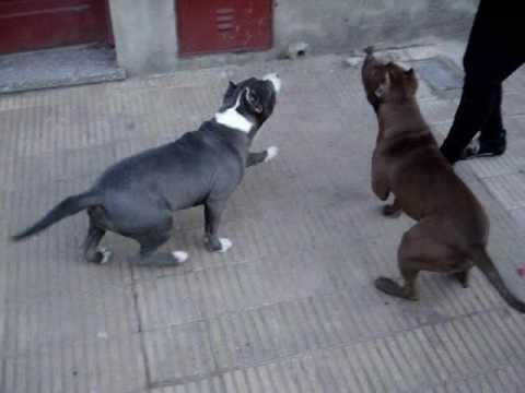 Entrenamiento Canino Pit Bull Histeria y Tirano Monarquía Pit Bull