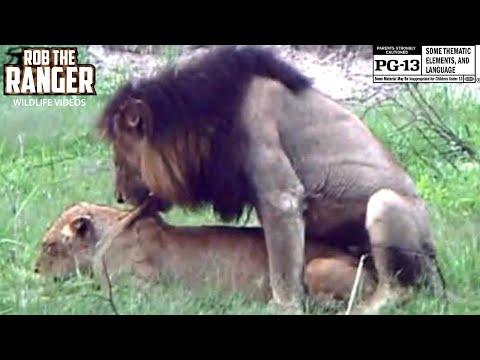 Xxx Mp4 WILDlife Mating Lions Big Cats Wild Africa 3gp Sex