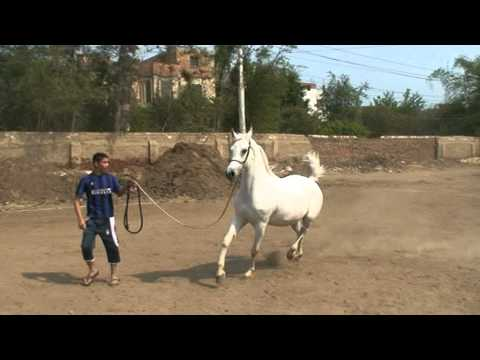مربط  مهنا - خيول عربية اصيلة سلالات نادرة   -hayaaaaaaaaa -