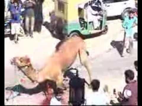 Camel Qurbani By Cheeky