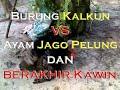 Burung Kalkun Vs Ayam Jago Pelung Dan Fenomena Ritual Kawin - Nya | Funny Video Hd
