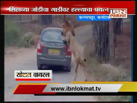Two 'Lions' stopped car and climbs over it in Karnataka National Park