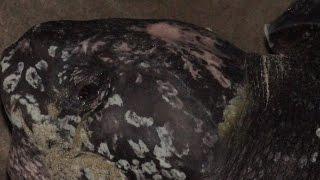 Papua Penyu Belimbing_Pemanggilan Adat (Leatherback Turtle from Papua, Indonesia)