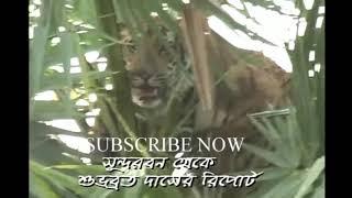 Royal Bengal Tiger comes in Sundarban village,india, westbengal, south 24 pargana, Sundarban