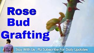 कैसे करे गुलाब की बड ग्राफ्टिंग /How to Graft Roses Bud Grafting with Update / Mammal Bonsai