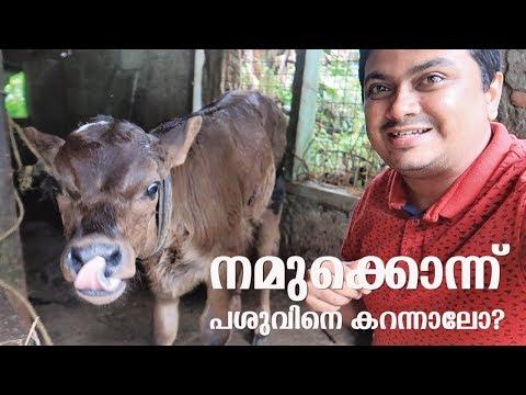Xxx Mp4 നമുക്കൊന്ന് പശുവിനെ കറക്കാൻ പോയാലോ How To Milk A Cow At Home 3gp Sex