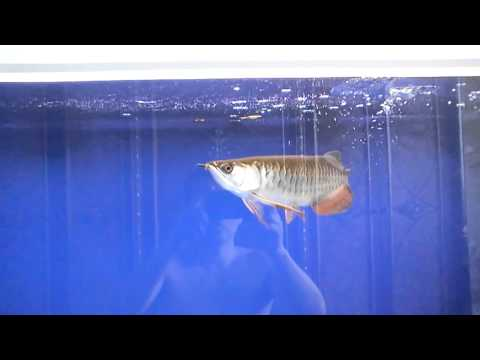 My hb red tail golden arowana's feeding