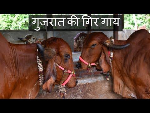 Xxx Mp4 गुजरात की गिर गाय Pure Breed Gir Cow From Gujarat 3gp Sex