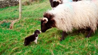 Man's Best Workmate - Border Collie puppies | Big Week on the Farm | RTÉ One