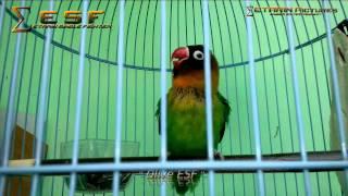 Lovebird Ngekek Panjang & Gacor olive Esf By.etarin Download Mp3 Mp4 3GP HD Video