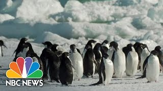 Counting Penguins: What Penguins In Antarctica Might Be Telling Us About Climate Change | NBC News