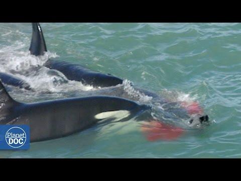El Ataque de las Orcas Patagonia
