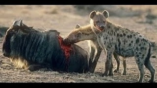 Nature documentary 2016 hyena hunting buffalo documentaries animal planet HD wild animals