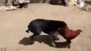 कुत्ता और मुर्गा की जबरदस्त लड़ाई 7/4/017
