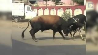 Funny Indian Cow compilation - Very Funny Desi Cow