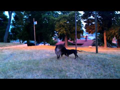 pitbull stafford vs tibetian mastiff dog fight