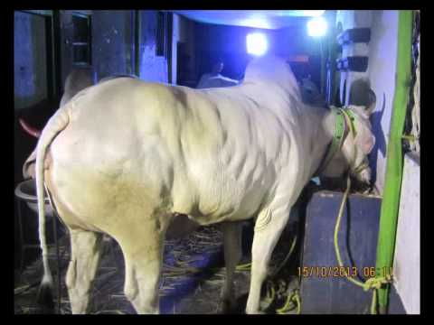 Asim kole's Biggest Cows, kolkata,India - Bakrid,2013