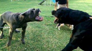 Cane corso vs rottweiler vs american pittbull