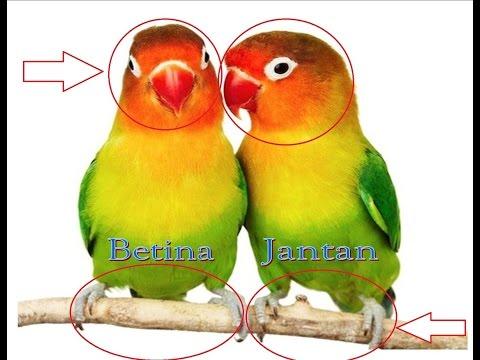 Cara Membedakan Lovebird Jantan dan Betina - 10 Perbedaan Lovebird Jantan dan Betina