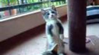 Munchkin Cat Play