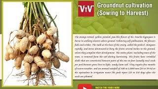 Peanut-Groundnut cultivation
