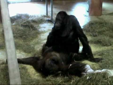 Orangutan Style Sex @ Zoo