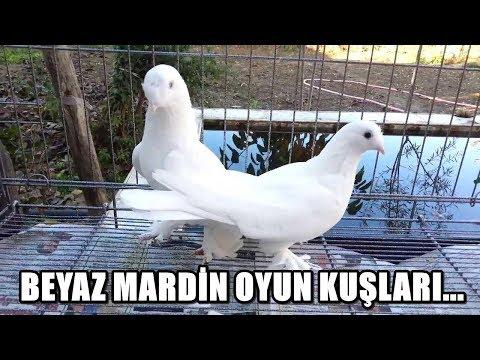 BEYAZ TAKLACI OYUN KUŞLARI - Beyaz Mardin Güvercin Videoları