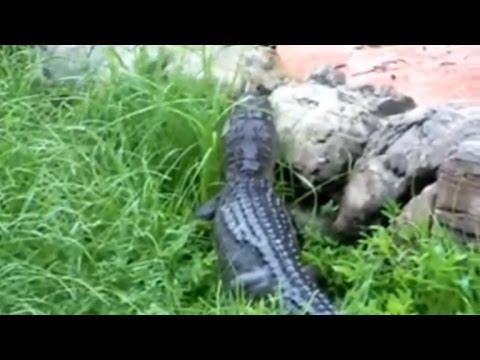 Shocking Video Shows Disney Employee Fighting Alligator Near Splash Mountain