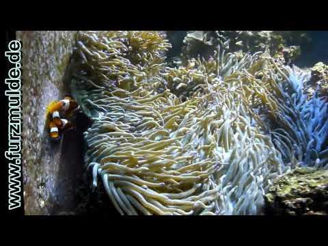 Xxx Mp4 Clownfish Sex Or Amphiprion Ocellaris Porn Nemo Has A Xxx Lover 3gp Sex
