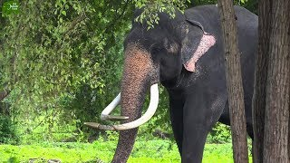 One Magnificent Tusker from Sri Lanka with Rare Tusks