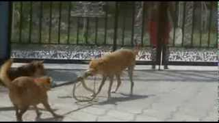 Fight between my dog and the snake. Lotta tra i miei cani e il serpente.