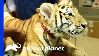 Tiger On The Loose!   The Vet Life: Extreme Animal Encounters