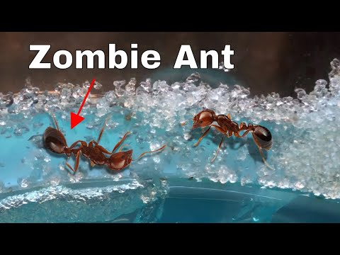 Xxx Mp4 How I Made An Ant Think It Was Dead—The Zombie Ant Experiment 3gp Sex