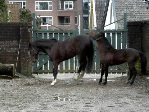 Hackney pony Camo is quickly loosing his outspoken stallion behaviour