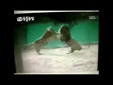 león contra tigre a muerte; peleas reales caceria ¿cuál es más temerario Low