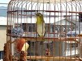 Pleci ngerol isian kenari dan kolibri ninja pleci jawara mp3 download