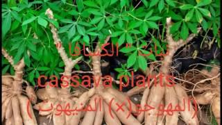 """نبات """" الكسافا """"  cassava plants ( المنيهوت )×(المهوجو)"""