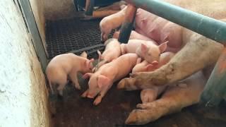 La granga.porcina