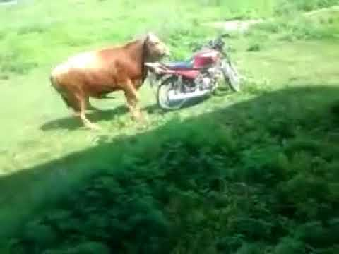 Xxx Mp4 Bangla Fun Cow Sex For Motorbike 3gp Sex