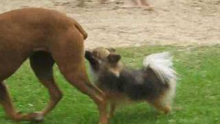 A Dog Licking Another Dog's Ass, Amazing!