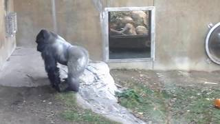 Gorilla Attacks Her With 3 Flying Leaps...You Have To See This!!!