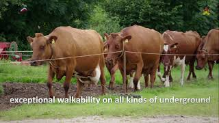 German Red Cattle/ Angler Image film english