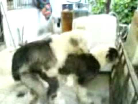 Perro pastor ovejero montando a su novia
