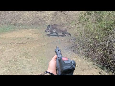 Harika çekim yaban domuzu avı.Wild Boar hunting.
