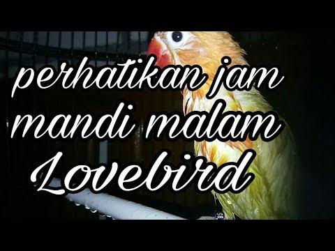 Jam mandi malam Lovebird